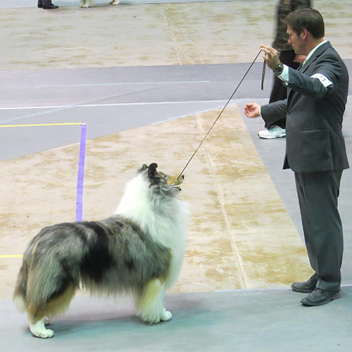 Best of Breed Collie